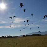 Il volo degli ibis