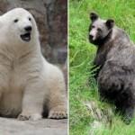Il triste destino degli orsi