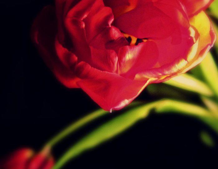 tulipano e il significato dei fiori in amore