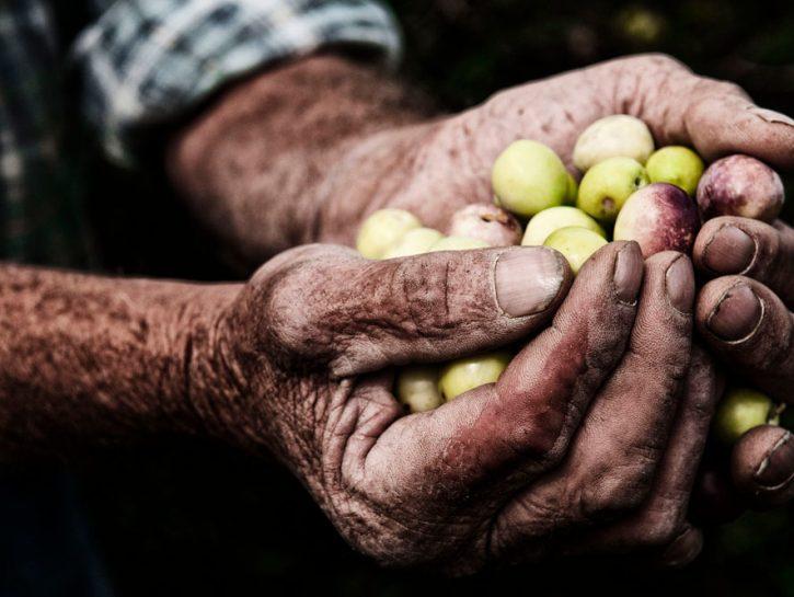 Pantelleria: raccolta delle olive