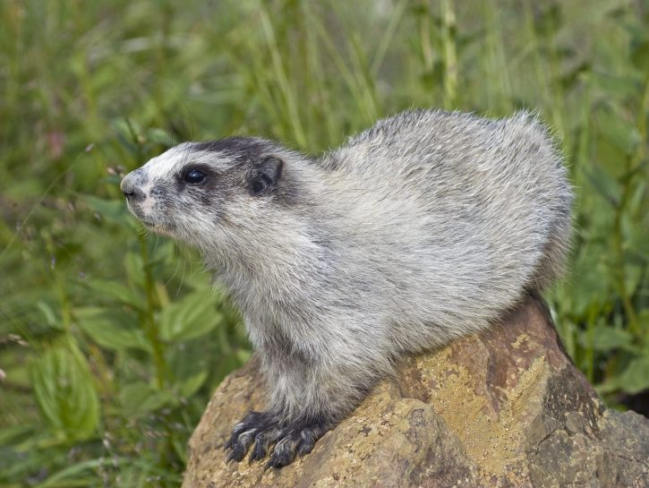 Marmotta dell'Alaska, l'animale più dormiglione del mondo