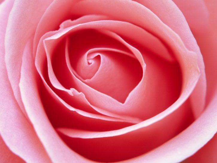 infuso di rosa