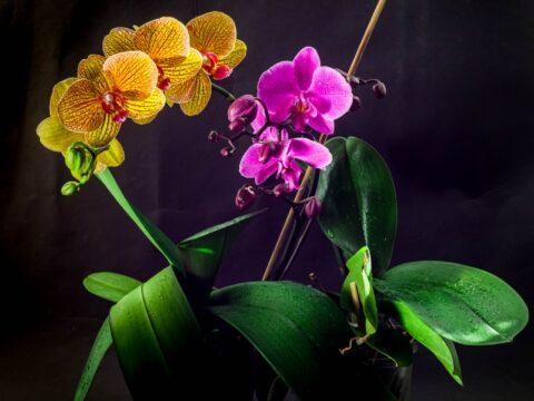 Orchidee: le specie più belle per decorare la tua casa