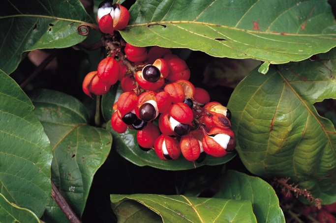 Aumenta il metabolismo con il Guaranà