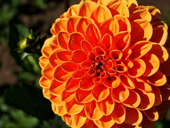 Dalia, la più colorata