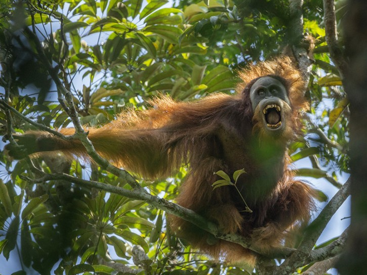 © Tim Laman Tough Times for Orangutans 01