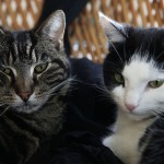 Gatti domestici