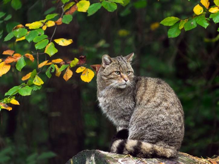 Gatto nel bosco