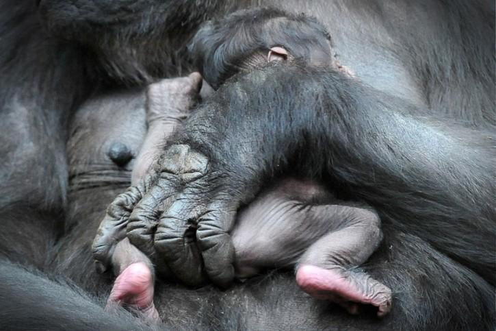 Gorilla neonato allo zoo di Praga
