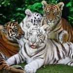 Cuccioli di tigre