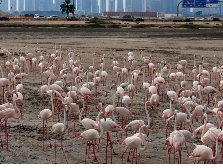 Fenicotteri rosa a Dubai