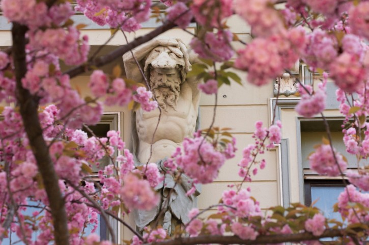 La strada dei ciliegi a Bonn