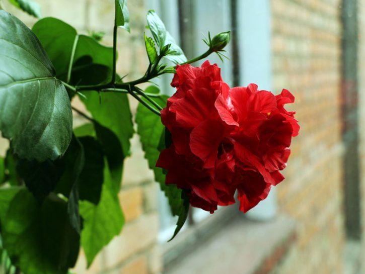 Rose su balcone