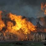Rogo di avorio in Kenya