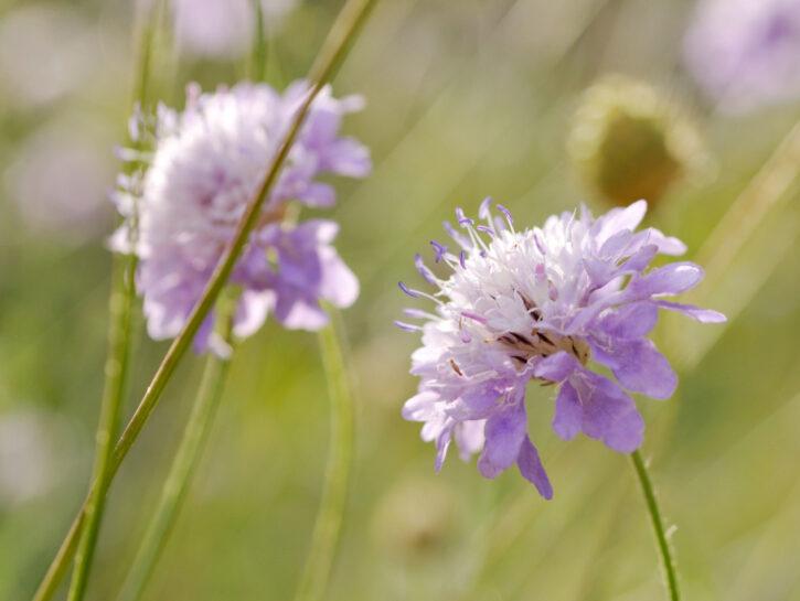 Cephalaria transsylvanica