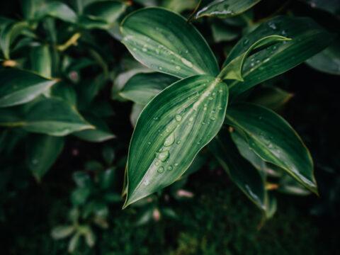 Tronchetto della felicità: come curarlo e farlo crescere sano