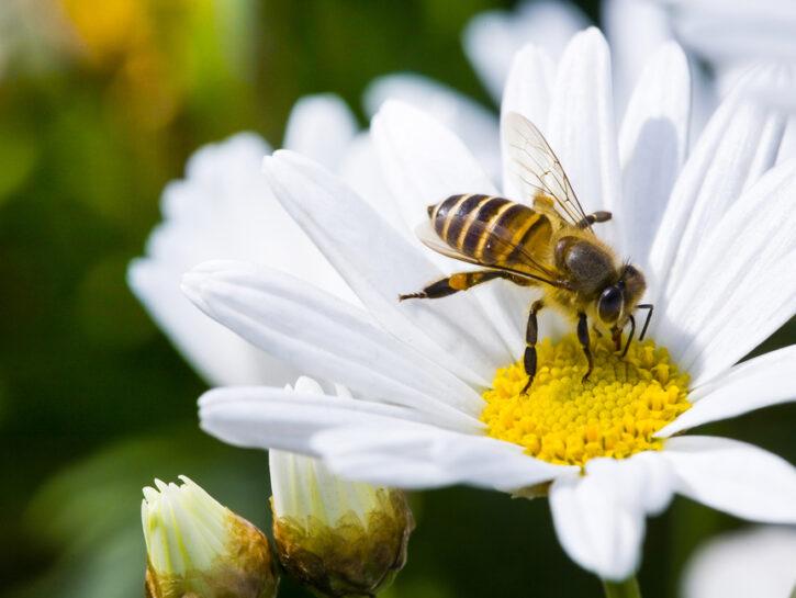 ape che succhia il nettare