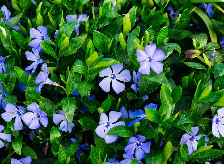 piante annuali da balcone