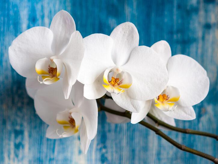 Rifioritura orchidee