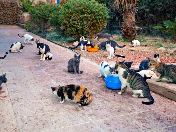 Gatti cortile che mangiano dalle scodelle
