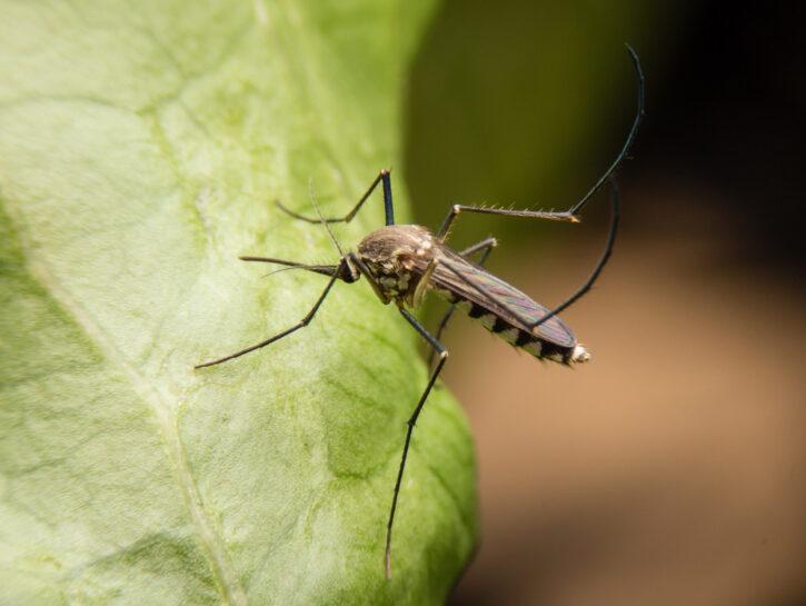 Zanzara su foglia