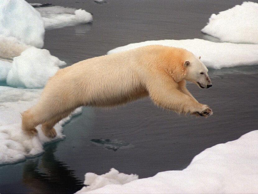 Un orso salta sul ghiaccio nel mare glaciale artico