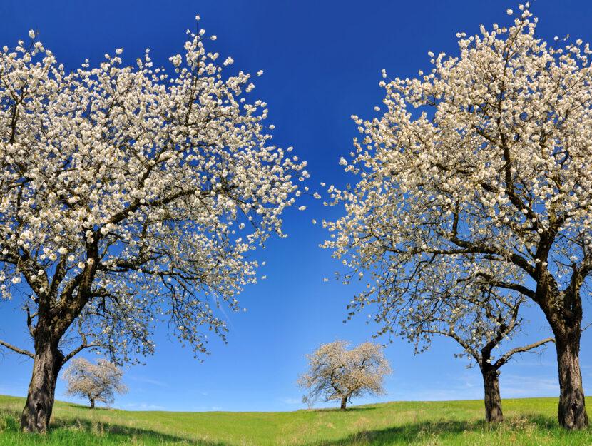 Alberi fioriti prato primavera