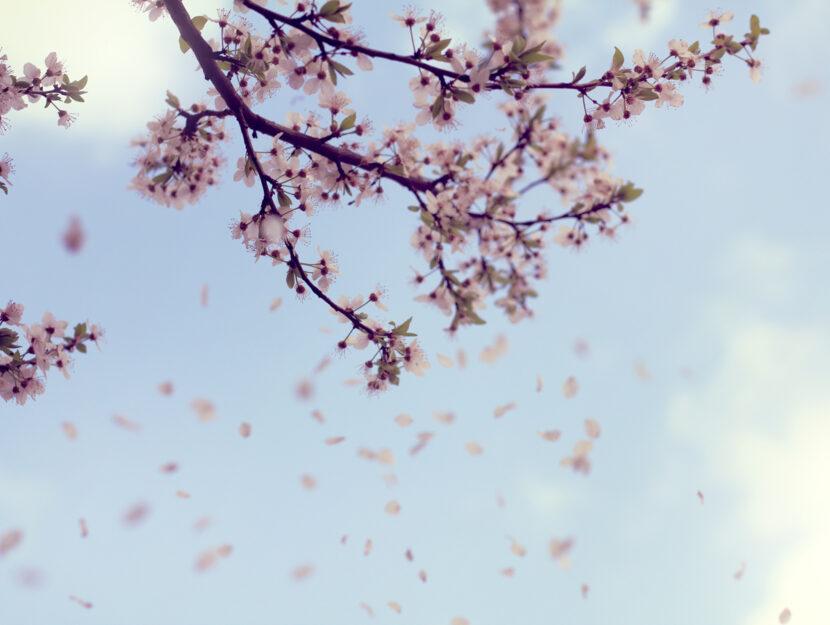 Albero fiori primavera vento