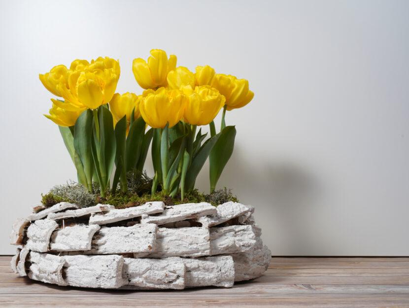 coltivare i tulipani in vaso
