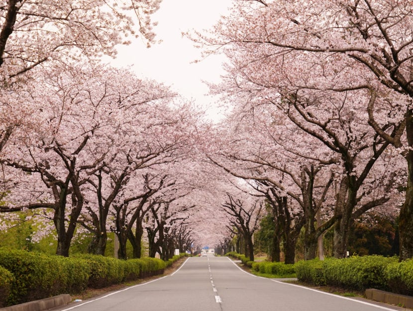 Primavera alberi fioriti viale