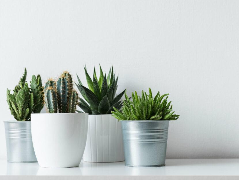 rinvasare i cactus