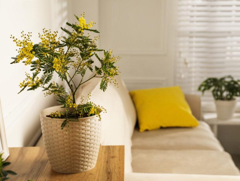 mimosa significato e come coltivare
