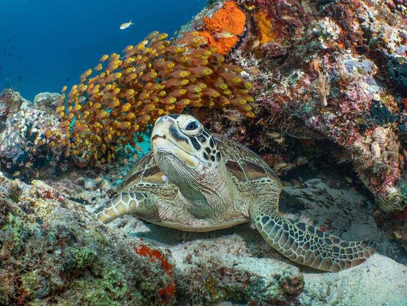 Una tartaruga Chelonia Mydas nelle isole Selayar, in Indonesia.Lo scatto è di Galice Hoarau, vincit