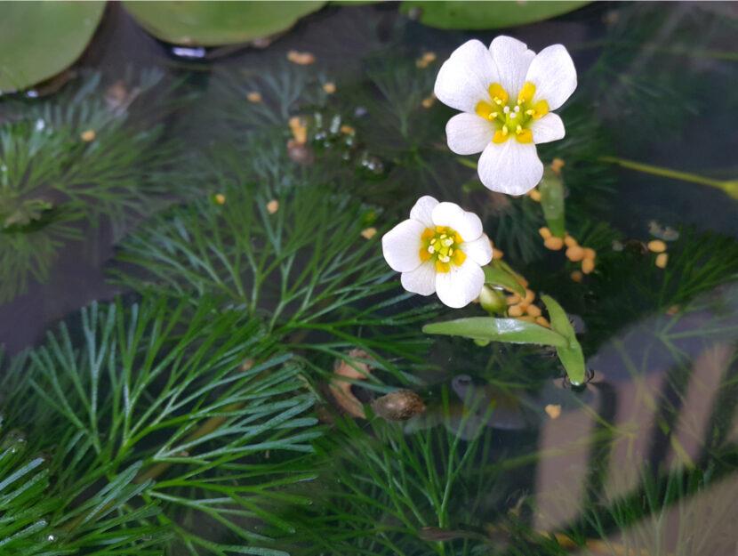 egeria densa fiore