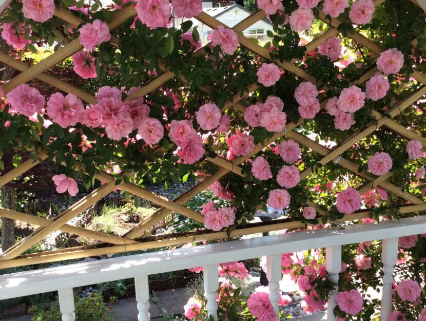Rose rampicanti fiori giardino